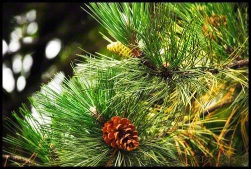 Pine cones - Conuri pin