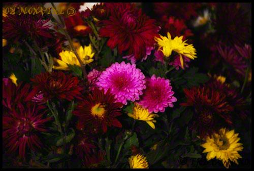 Tufanele - Chrysanthemum indicum