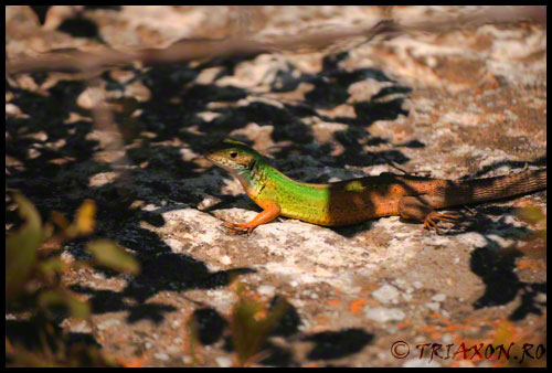 Take a warming break - Lizard in the sun