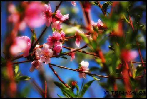 Spring apple flower - Primavara flori de mar