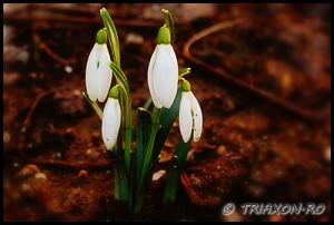 Martisoare - 1 Martie