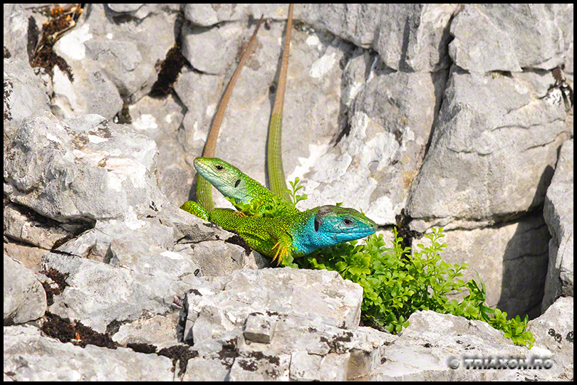 European Green Lizard (Lacerta viridis)