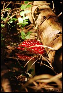 Amanita muscaria, Muscari??, P?l?ria ?arpelui, Burete ?erpesc, Bure?i pestri?i, Burete de gâze, Muscarin, I got the Poison