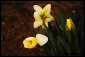 Narcise - Daffodils