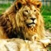 Lions family in Sibiu, Romania Zoo