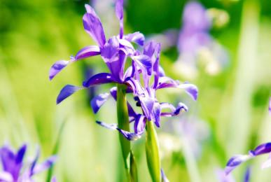 La Multi Ani Iris