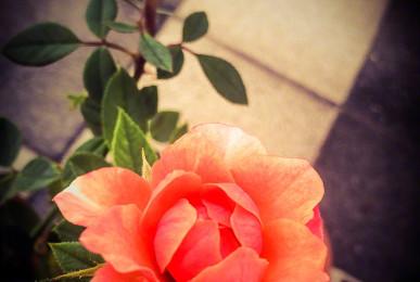 Roses aren't always red